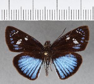 (Hesperiidae_gen sp. CF335 - CFCD00705)  @11 [ ] copyright (2018) Christer Fahraeus Fahraeus Institute