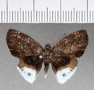 (Hesperiidae_gen sp. CF336 - CFCD00706)  @11 [ ] copyright (2018) Christer Fahraeus Fahraeus Institute