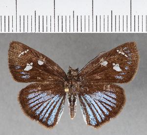 (Hesperiidae_gen sp. CF337 - CFCD00707)  @11 [ ] copyright (2018) Christer Fahraeus Fahraeus Institute