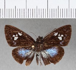 (Hesperiidae_gen sp. CF338 - CFCD00708)  @11 [ ] copyright (2018) Christer Fahraeus Fahraeus Institute