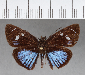 (Hesperiidae_gen sp. CF339 - CFCD00709)  @11 [ ] copyright (2018) Christer Fahraeus Fahraeus Institute