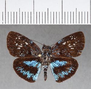 (Hesperiidae_gen sp. CF31 - CFCD00712)  @11 [ ] copyright (2018) Christer Fahraeus Fahraeus Institute