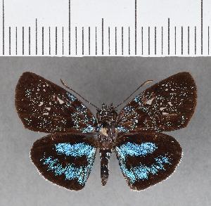 (Hesperiidae_gen sp. CF342 - CFCD00714)  @11 [ ] copyright (2018) Christer Fahraeus Fahraeus Institute