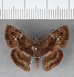 (Hesperiidae_gen sp. CF343 - CFCD00715)  @11 [ ] copyright (2018) Christer Fahraeus Fahraeus Institute