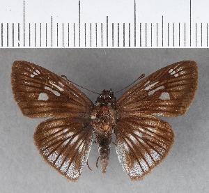 (Hesperiidae_gen sp. CF344 - CFCD00716)  @11 [ ] copyright (2018) Christer Fahraeus Fahraeus Institute