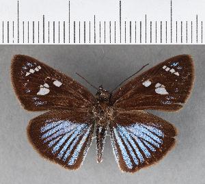 (Hesperiidae_gen sp. CF345 - CFCD00718)  @11 [ ] copyright (2018) Christer Fahraeus Fahraeus Institute