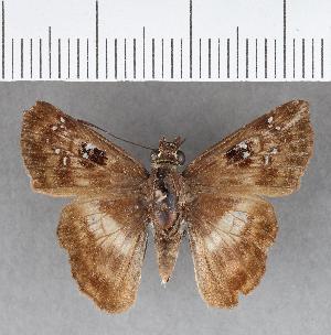 (Hesperiidae_gen sp. CF346 - CFCD00719)  @11 [ ] copyright (2018) Christer Fahraeus Fahraeus Institute