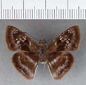 (Hesperiidae_gen sp. CF347 - CFCD00720)  @11 [ ] copyright (2018) Christer Fahraeus Fahraeus Institute