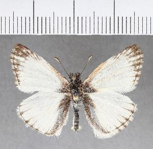 (Hesperiidae_gen sp. CF349 - CFCD00721)  @11 [ ] copyright (2018) Christer Fahraeus Fahraeus Institute