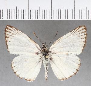 (Hesperiidae_gen sp. CF12 - CFCD00722)  @11 [ ] copyright (2018) Christer Fahraeus Fahraeus Institute