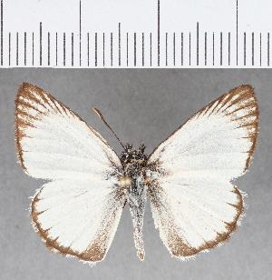 (Hesperiidae_gen sp. CF351 - CFCD00723)  @11 [ ] copyright (2018) Christer Fahraeus Fahraeus Institute