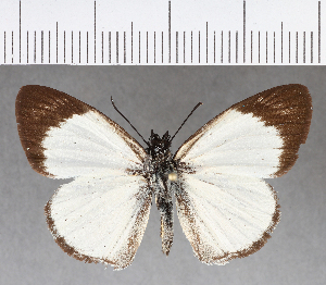 (Hesperiidae_gen sp. CF353 - CFCD00724)  @11 [ ] copyright (2018) Christer Fahraeus Fahraeus Institute