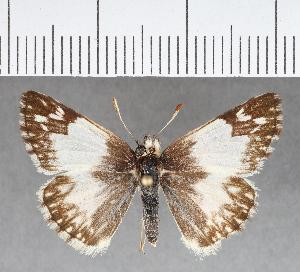 (Hesperiidae_gen sp. CF356 - CFCD00725)  @11 [ ] copyright (2018) Christer Fahraeus Fahraeus Institute