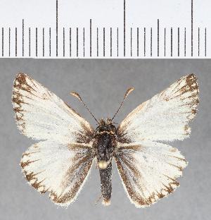 (Hesperiidae_gen sp. CF358 - CFCD00728)  @11 [ ] copyright (2018) Christer Fahraeus Fahraeus Institute