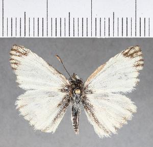 (Hesperiidae_gen sp. CF359 - CFCD00729)  @11 [ ] copyright (2018) Christer Fahraeus Fahraeus Institute