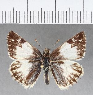 (Hesperiidae_gen sp. CF360 - CFCD00732)  @11 [ ] copyright (2018) Christer Fahraeus Fahraeus Institute