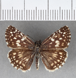 (Hesperiidae_gen sp. CF361 - CFCD00733)  @11 [ ] copyright (2018) Christer Fahraeus Fahraeus Institute
