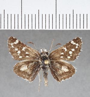 (Hesperiidae_gen sp. CF365 - CFCD00735)  @11 [ ] copyright (2018) Christer Fahraeus Fahraeus Institute
