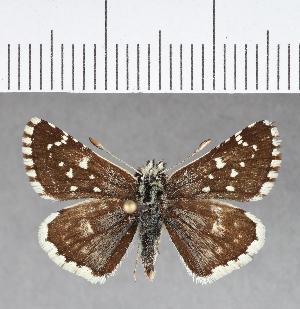 (Hesperiidae_gen sp. CF366 - CFCD00737)  @11 [ ] copyright (2018) Christer Fahraeus Fahraeus Institute