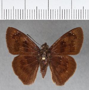 (Hesperiidae_gen sp. CF373 - CFCD00743)  @11 [ ] copyright (2018) Christer Fahraeus Fahraeus Institute