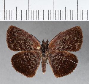 (Hesperiidae_gen sp. CF374 - CFCD00744)  @11 [ ] copyright (2018) Christer Fahraeus Fahraeus Institute