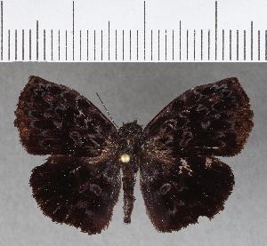 (Hesperiidae_gen sp. CF376 - CFCD00746)  @12 [ ] copyright (2018) Christer Fahraeus Fahraeus Institute