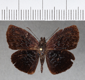 (Hesperiidae_gen sp. CF377 - CFCD00747)  @11 [ ] copyright (2018) Christer Fahraeus Fahraeus Institute
