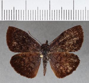 (Hesperiidae_gen sp. CF380 - CFCD00749)  @11 [ ] copyright (2018) Christer Fahraeus Fahraeus Institute