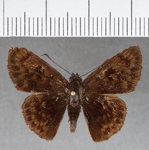 (Hesperiidae_gen sp. CF381 - CFCD00752)  @11 [ ] copyright (2018) Christer Fahraeus Fahraeus Institute