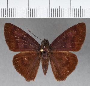(Hesperiidae_gen sp. CF383 - CFCD00753)  @11 [ ] copyright (2018) Christer Fahraeus Fahraeus Institute