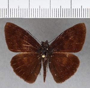 (Hesperiidae_gen sp. CF384 - CFCD00756)  @11 [ ] copyright (2018) Christer Fahraeus Fahraeus Institute
