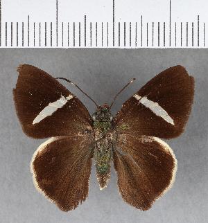 (Hesperiidae_gen sp. CF391 - CFCD00759)  @11 [ ] copyright (2018) Christer Fahraeus Fahraeus Institute