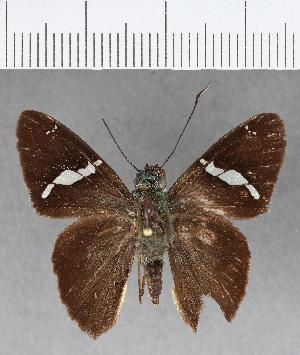 (Hesperiidae_gen sp. CF393 - CFCD00763)  @11 [ ] copyright (2018) Christer Fahraeus Fahraeus Institute