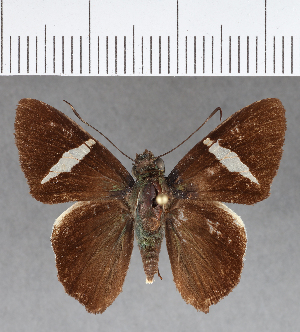 (Hesperiidae_gen sp. CF395 - CFCD00770)  @11 [ ] copyright (2018) Christer Fahraeus Fahraeus Institute