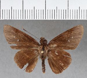 (Hesperiidae_gen sp. CF409 - CFCD00774)  @11 [ ] copyright (2018) Christer Fahraeus Fahraeus Institute