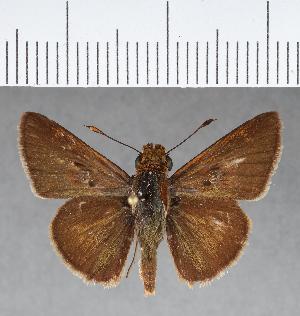 (Hesperiidae_gen sp. CF420 - CFCD00778)  @11 [ ] copyright (2018) Christer Fahraeus Fahraeus Institute