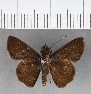 (Hesperiidae_gen sp. CF69 - CFCD00780)  @11 [ ] copyright (2018) Christer Fahraeus Fahraeus Institute