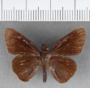 (Hesperiidae_gen sp. CF427 - CFCD00781)  @11 [ ] copyright (2018) Christer Fahraeus Fahraeus Institute
