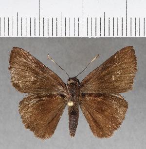 (Hesperiidae_gen sp. CF428 - CFCD00782)  @11 [ ] copyright (2018) Christer Fahraeus Fahraeus Institute