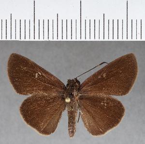 (Hesperiidae_gen sp. CF430 - CFCD00783)  @11 [ ] copyright (2018) Christer Fahraeus Fahraeus Institute
