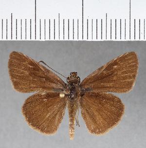 (Hesperiidae_gen sp. CF432 - CFCD00786)  @11 [ ] copyright (2018) Christer Fahraeus Fahraeus Institute