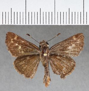 (Hesperiidae_gen sp. CF433 - CFCD00788)  @11 [ ] copyright (2018) Christer Fahraeus Fahraeus Institute