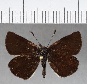 (Hesperiidae_gen sp. CF434 - CFCD00789)  @11 [ ] copyright (2018) Christer Fahraeus Fahraeus Institute