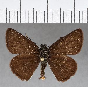 (Hesperiidae_gen sp. CF435 - CFCD00790)  @11 [ ] copyright (2018) Christer Fahraeus Fahraeus Institute