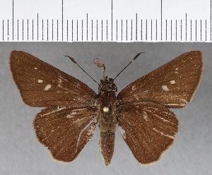 (Hesperiidae_gen sp. CF436 - CFCD00791)  @11 [ ] copyright (2018) Christer Fahraeus Fahraeus Institute