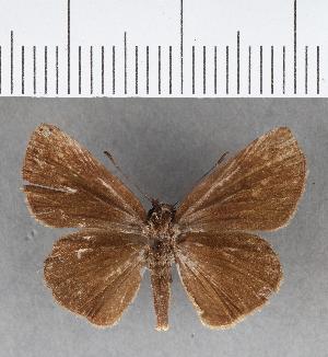 (Hesperiidae_gen sp. CF437 - CFCD00792)  @11 [ ] copyright (2018) Christer Fahraeus Fahraeus Institute