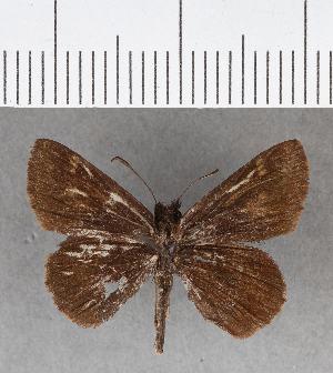 (Hesperiidae_gen sp. CF439 - CFCD00793)  @11 [ ] copyright (2018) Christer Fahraeus Fahraeus Institute