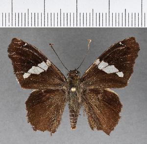 (Hesperiidae_gen sp. CF442 - CFCD00795)  @11 [ ] copyright (2018) Christer Fahraeus Fahraeus Institute