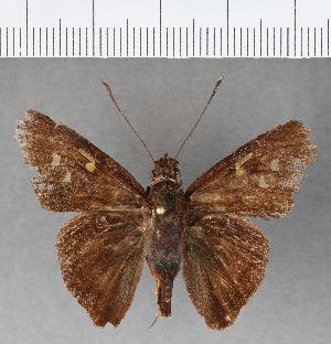 (Hesperiidae_gen sp. CF443 - CFCD00796)  @11 [ ] copyright (2018) Christer Fahraeus Fahraeus Institute