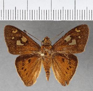 (Hesperiidae_gen sp. CF444 - CFCD00798)  @11 [ ] copyright (2018) Christer Fahraeus Fahraeus Institute